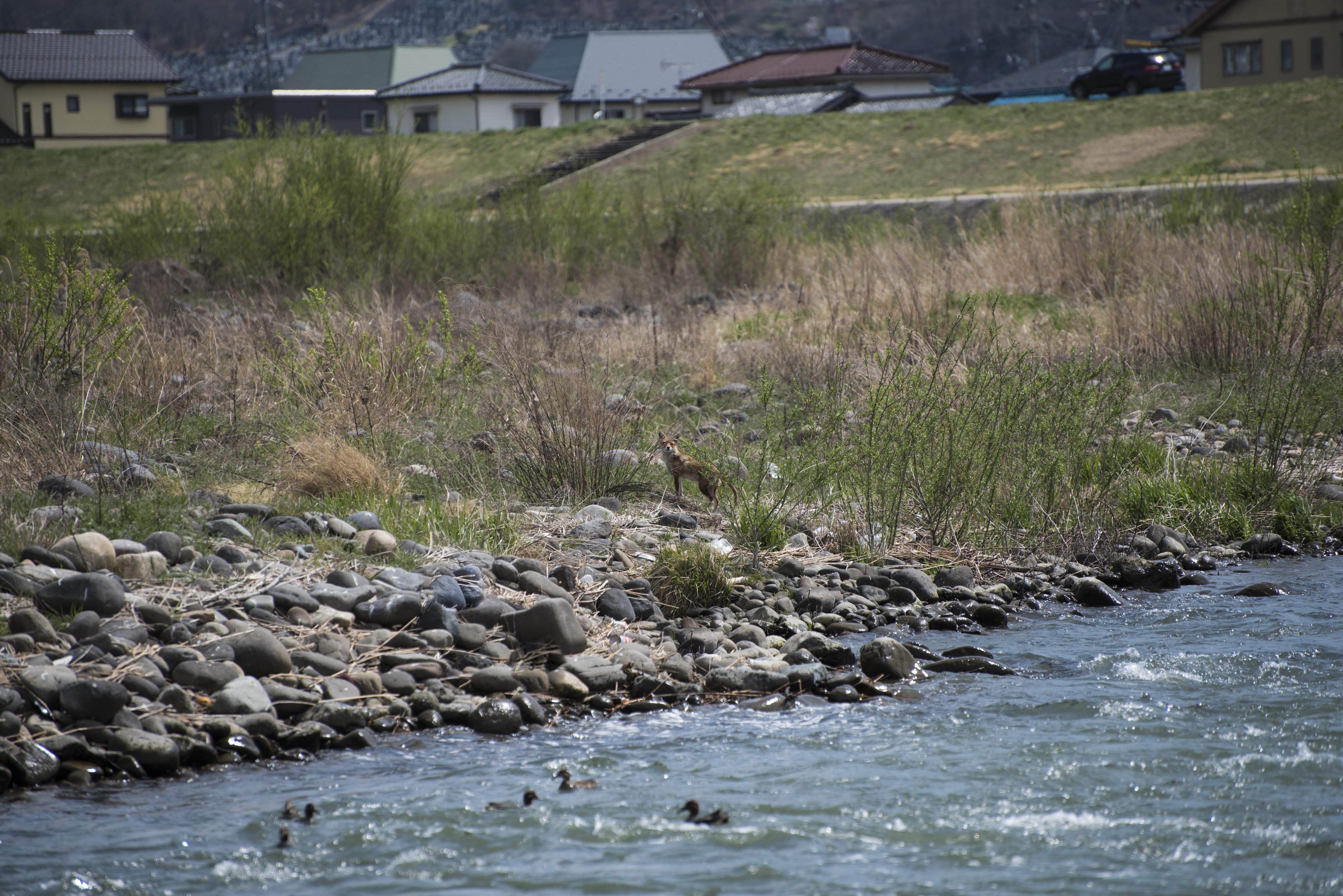 千曲川の河川敷の生き物たち キツネとかも At Chikuma(Nagano)