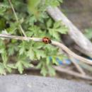 千曲川河川敷のてんとう虫 At River Chikuma (Nagano)