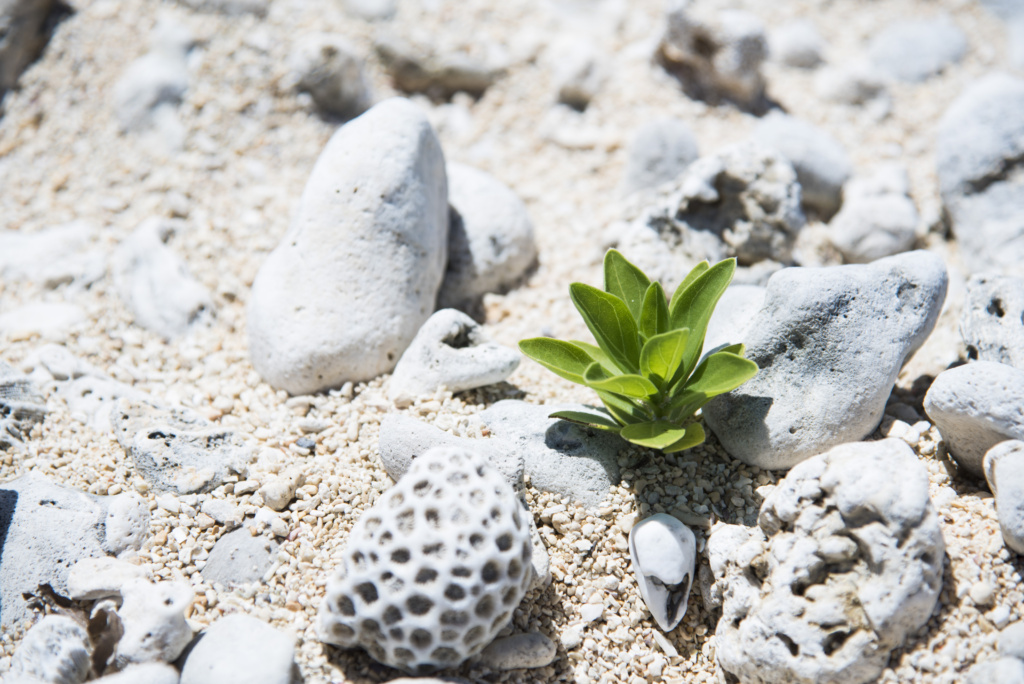 白保のサンゴ
